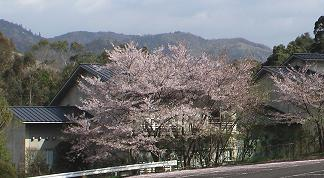 Ph060416ndl06sakura